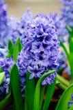 Purpurfärgade hyacinter i trädgården Fotografering för Bildbyråer