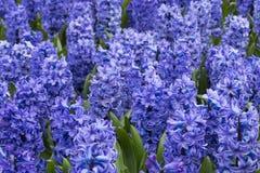 Purpurfärgade Hyacinth Field Detail Royaltyfri Bild