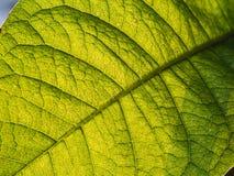 Purpurfärgade Ivy Texture Leaf Royaltyfri Bild