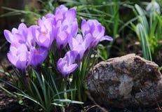 Purpurfärgade krokusar på en vårdag Fotografering för Bildbyråer