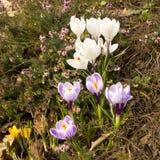 Purpurfärgade krokusar som är vita och Royaltyfri Bild