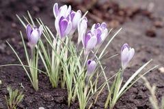 Purpurfärgade krokusar som blommar i tidig vår Arkivfoton