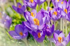 Purpurfärgade krokusblommor, vårbakgrund Royaltyfri Fotografi