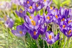 Purpurfärgade krokusblommor, vårbakgrund Royaltyfri Foto
