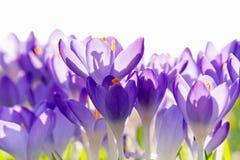 Purpurfärgade krokusblommor, vårbakgrund Arkivbild