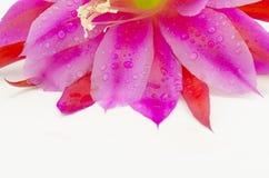 Purpurfärgade kronblad Royaltyfri Fotografi