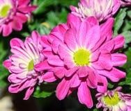 Purpurfärgade krysantemumbukettblommor, blom- ordning Royaltyfri Fotografi