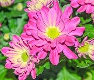 Purpurfärgade krysantemumbukettblommor, blom- ordning Royaltyfri Bild