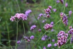 Purpurfärgade lösa blommor är blommande ensamt vandringsledet fotografering för bildbyråer