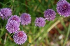 Purpurfärgade lösa blommor växer i en parkera i Ruffiac (Frankrike) royaltyfri fotografi