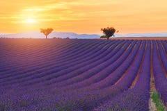 Purpurfärgade lavendelfält för härliga färger nära Valensole, Provence Royaltyfria Bilder