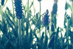 Purpurfärgade lavendelflovers royaltyfri bild