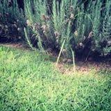 Purpurfärgade lavendelväxter fotografering för bildbyråer