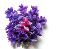 Purpurfärgade lilasidor Royaltyfria Bilder