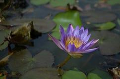Purpurfärgade liljar Arkivbilder