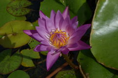 Purpurfärgade liljar Arkivbild