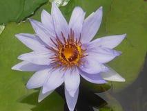 Purpurfärgade liljor i ett vårdamm Royaltyfri Foto