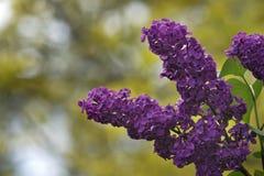Purpurfärgade lilor i vår Royaltyfria Foton