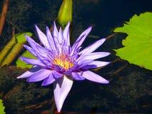 Purpurfärgade Lily Pad Flower Arkivfoto