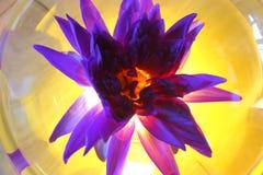 Purpurfärgade Lotus Flower i oval glass krus med gult ljus från bac royaltyfri foto