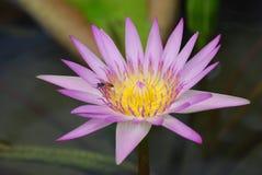 Purpurfärgade Lotus Flowers Arkivbilder