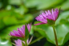 Purpurfärgade Lotus Flowers eller vatten Lilly Arkivfoton