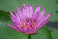 Purpurfärgade Lotus Flowers och bin Royaltyfri Bild