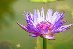 Purpurfärgade Lotus i badet morgonsolen Fotografering för Bildbyråer