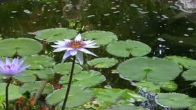 Purpurfärgade Lotus i ett damm stock video