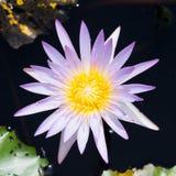 Purpurfärgade Lotus i trädgården Arkivfoton