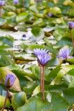 Purpurfärgade lotusblommablommor i dammet royaltyfria bilder