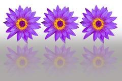 Purpurfärgade lotusblommablommor med reflexion som isoleras på vit backgroun Royaltyfri Foto