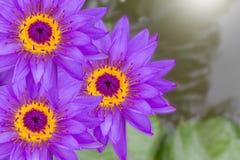 Purpurfärgade lotusblommablommor på suddigt vatten och sidor Royaltyfri Fotografi