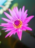 Purpurfärgade lotusblommar bevattnar in royaltyfria bilder