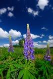 Purpurfärgade lupinblommor Fotografering för Bildbyråer