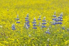 Purpurfärgade lupine- och ökenguldgulingblommor i ljust färgat vårfält av öst för huvudväg 58 av Santa Margarita, CA Royaltyfria Bilder