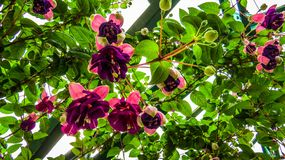 Purpurfärgade mångfärgade blommor i växthus Fotografering för Bildbyråer