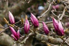 Purpurfärgade magnoliaknoppar Arkivfoto