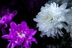Purpurfärgade Multilobe och vita krysantemum som blommar closeupen arkivbilder