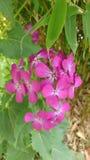 Purpurfärgade mycket små blommor fjädrar delikat Royaltyfri Fotografi