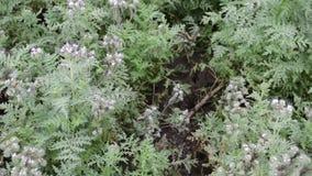 Purpurfärgade nektar-rika blommor av den Phacelia tanacetifoliaen sätter in och bikupor som är suddiga i bakgrunden lager videofilmer