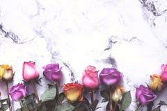 Purpurfärgade och gula rosor på vit bakgrund Royaltyfria Foton