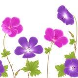 Purpurfärgade och rosa pelargonblommor Arkivbild