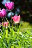 Purpurfärgade och rosa tulpan Fotografering för Bildbyråer