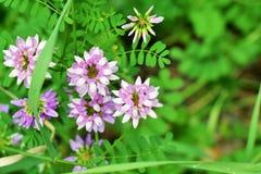Purpurfärgade och vita blommor för ljus - Fotografering för Bildbyråer