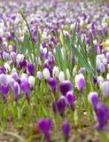 Purpurfärgade och vita blommor i fält av blommor i början av våren Arkivfoton