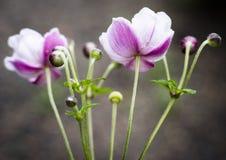 Purpurfärgade och vita blommor med knoppar Fotografering för Bildbyråer