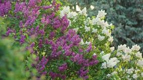 Purpurfärgade och vita lila träd Arkivbild