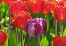 Purpurfärgade och vita Tulip Against Red Tulip Background royaltyfria foton