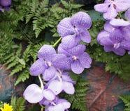 Purpurfärgade orchidblommor Royaltyfri Fotografi